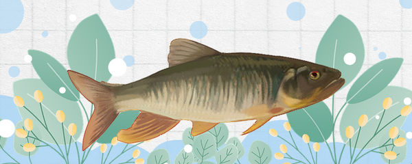 马口鱼多大开始发色,怎么养发色快