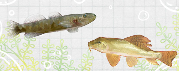 棒花鱼与虾虎鱼一样吗,有什么区别