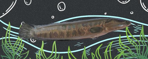 生鱼是什么鱼,是淡水鱼吗