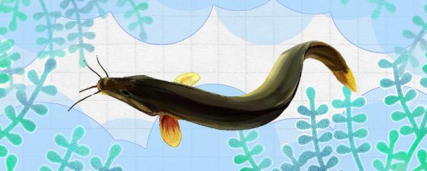 泥鳅会吃小鱼吗,会撑死吗