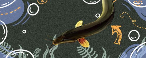 泥鳅生活在什么样的环境里,能养殖吗