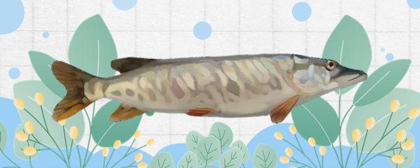 狗鱼是什么鱼,是淡水鱼还是海水鱼