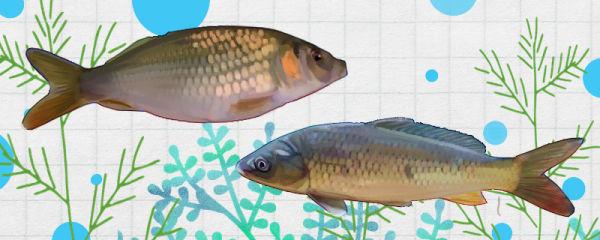禾花鱼和鲤鱼一样吗,有什么区别