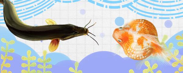 泥鳅和金鱼能混养吗,会被金鱼吃掉吗