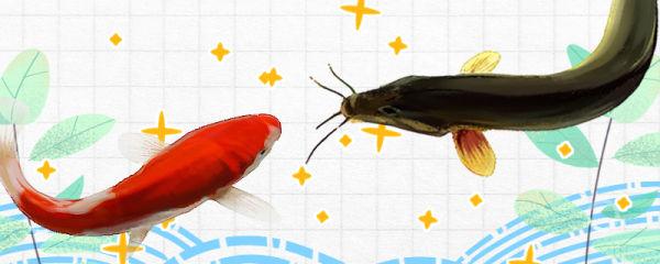 泥鳅和锦鲤能混养吗,会被锦鲤吃掉吗
