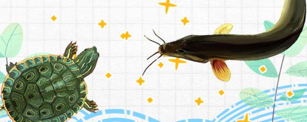 泥鳅和乌龟能混养吗,会被乌龟吃掉吗