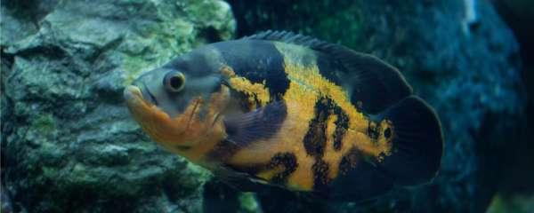 地图鱼不过滤不打氧可以吗,不过滤不打氧能活多久
