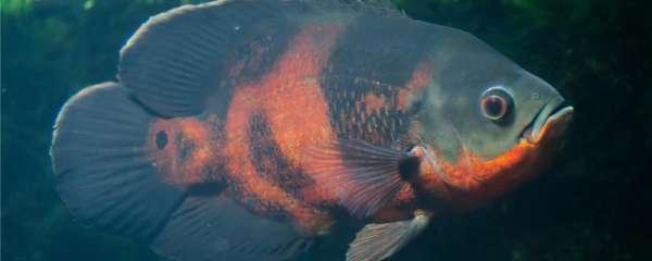 地图鱼吃黑壳虾吗,吃什么比较合适
