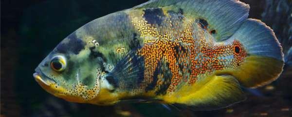 地图鱼可以和什么鱼混养,混养时需要注意些什么