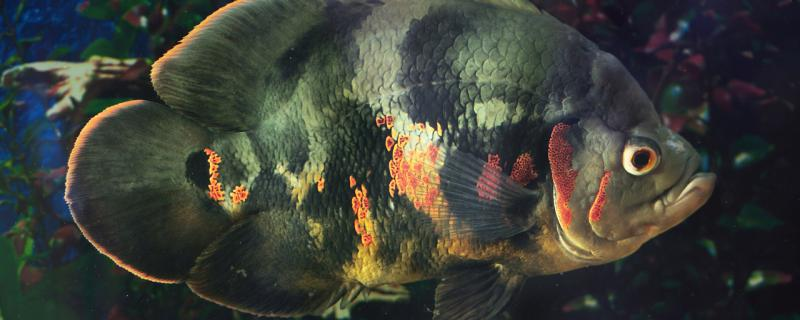 地图鱼水霉病怎么治,患病原因是什么