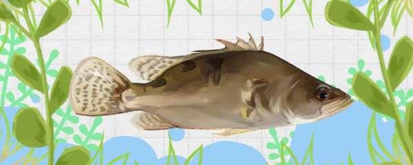 桂鱼是什么鱼类,生长在哪里