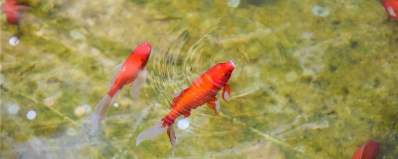 几年的金鱼可以产卵,产卵后需要注意什么