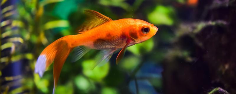 金鱼为什么叫金鱼,怎么饲养