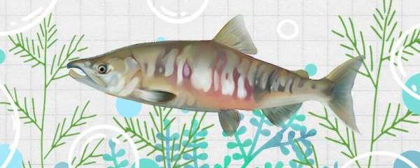 马哈鱼是三文鱼吗,和三文鱼有什么区别