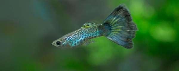 孔雀鱼剪了尾巴还能长吗,剪尾后需要注意什么