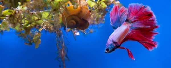 斗鱼为什么喜欢趴在水草上,缸里放什么水草比较合适