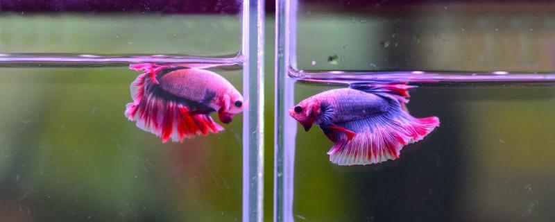 泰国斗鱼可以和中国斗鱼一起养吗,如何混养