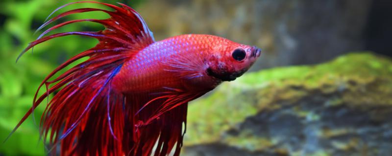 养一条泰国斗鱼要多大缸,有什么注意事项