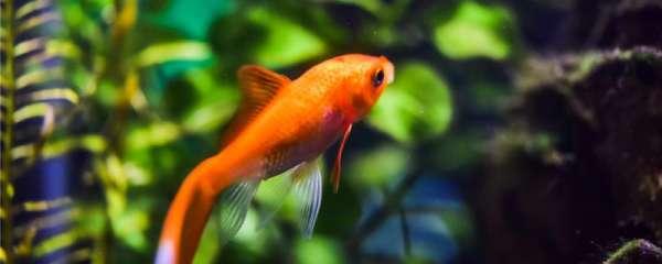 小金鱼不放氧气泵能养几天,怎么养