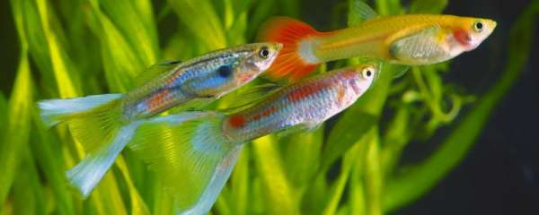 孔雀鱼幼崽总死怎么办,死亡的原因是什么
