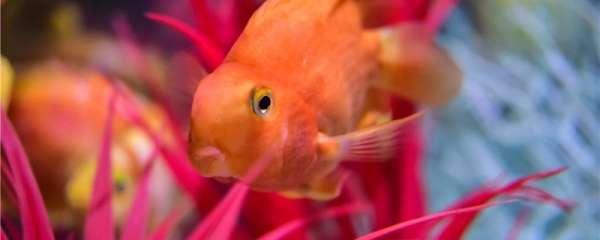 鹦鹉鱼有胃吗,一次喂多少合适