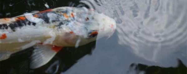 锦鲤冬天怎么喂食,一次投喂多少合适