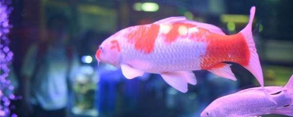 锦鲤身上出现红斑是什么原因,怎么治疗