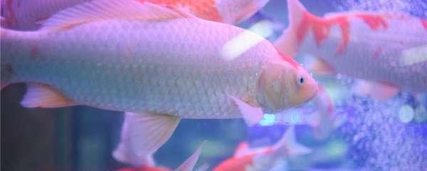 锦鲤吃什么颜色会深,怎么养颜色会深