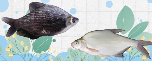 团头鲂和鳊鱼一样吗,有什么区别