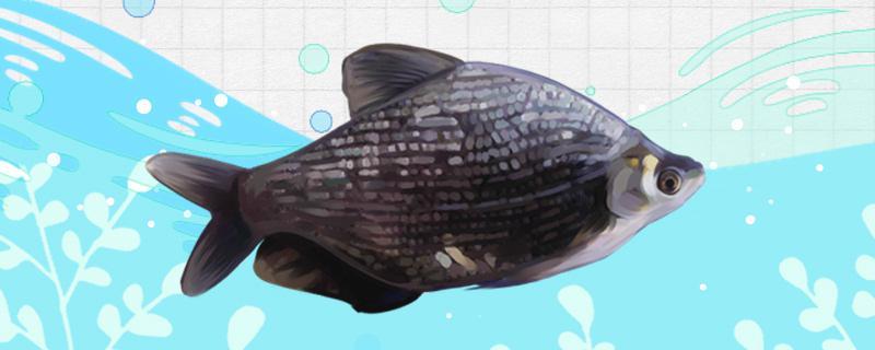 团头鲂是什么鱼,生长在哪