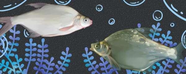 三角鲂和鳊鱼一样吗,有什么区别