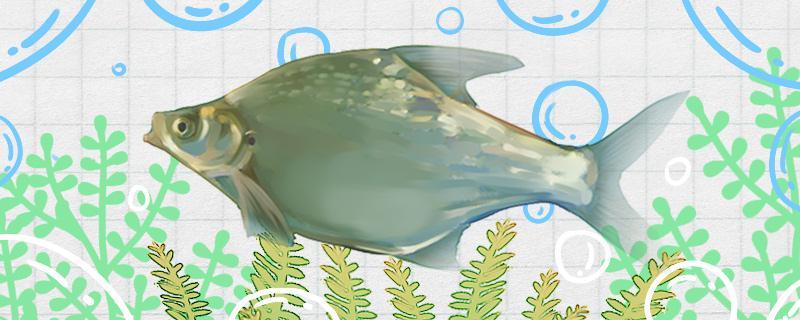 三角鲂是什么鱼,生活在哪里