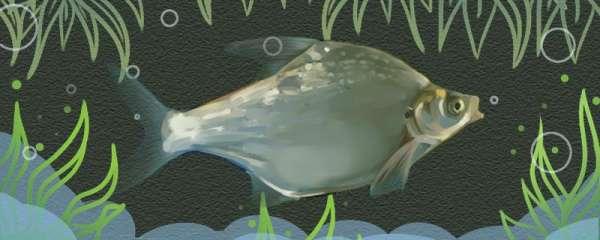 三角鲂是海鱼吗,能养殖吗