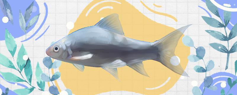 鲮鱼是什么鱼,生活在哪里