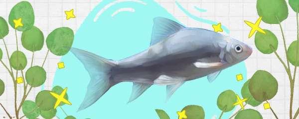 鲮鱼是海鱼吗,能自然繁殖吗