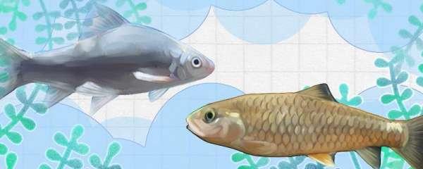 鲮鱼和军鱼一样吗,有什么区别