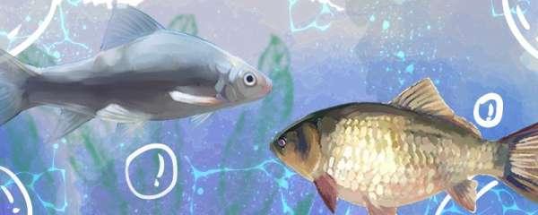 鲮鱼和鲫鱼一样吗,有什么区别
