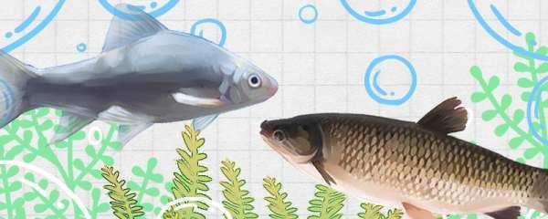 鲮鱼和草鱼一样吗,有什么区别