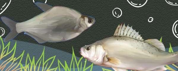 武昌鱼刺多吗,和鲈鱼哪个刺少
