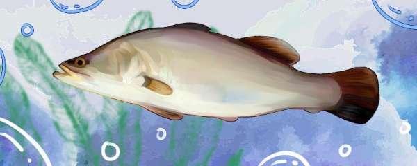 盲曹鱼是什么鱼,是鲈鱼吗