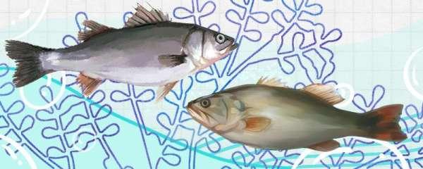 桂花鲈鱼和鲈鱼一样吗,有什么区别