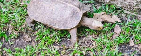 家养乌龟冬天用放水里吗,乌龟对水有什么要求