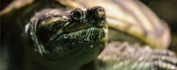乌龟在椰土里要浇水吗,冬眠时要注意什么