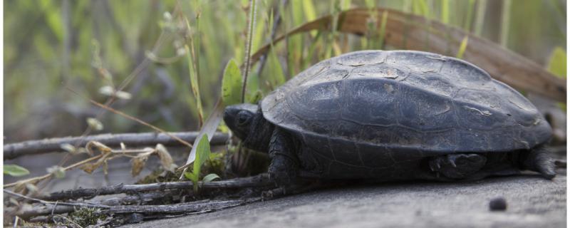 乌龟冬眠为什么总往出爬,什么龟不能冬眠