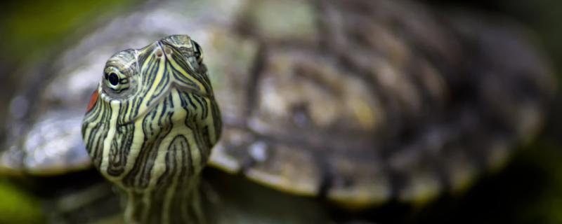 乌龟一天喂几次,给乌龟喂什么好