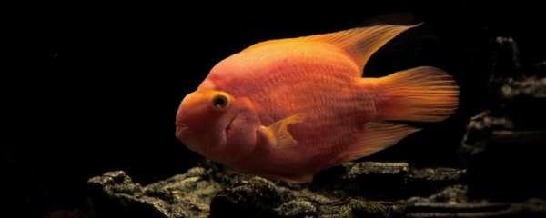 鹦鹉鱼和银龙鱼能在一个缸里养吗,需要注意什么