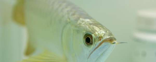 银龙鱼沉底奄奄一息是什么原因,如何急救
