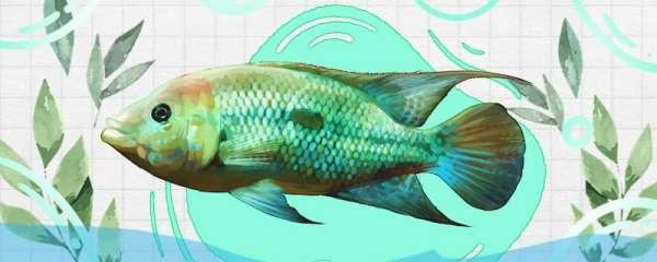 蓝霸王慈鲷好养吗,怎么养