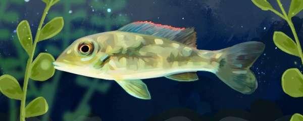 蓝唇宝石鱼好养吗,怎么养