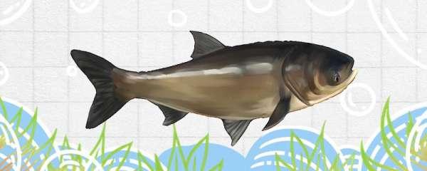 花鲢鱼刺多吗,和鲤鱼哪个刺多